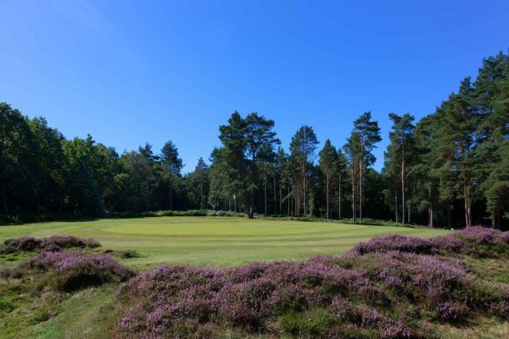 The heather in full bloom at Royal Ashdown Golf Club.
