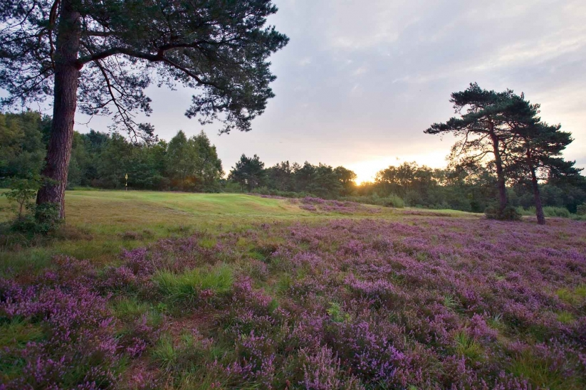 A photo of the heather in bloom at Crowborough Beacon Golf Club.
