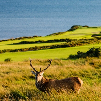 The stags and deer are found roaming the golf course.