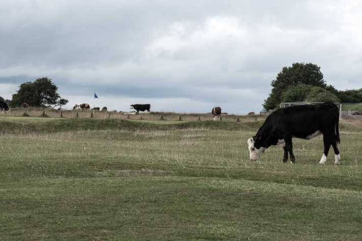 Cattle and other animals roam freely at Minchinhampton Old Course.