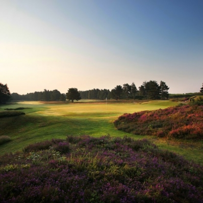 The heather in bloom at SUNNINGDALE GOLF CLUB NEW Course.
