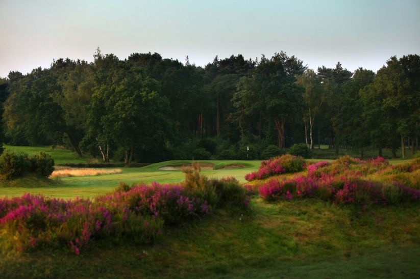 The heather in bloom on the 1st hole at Sunningdale Golf Club Old Course.