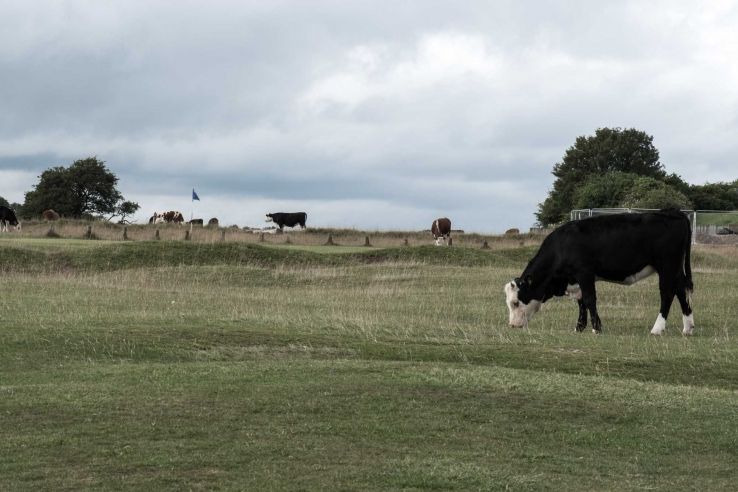 Livestock on the common land bunkerless golf course at Minch Old.